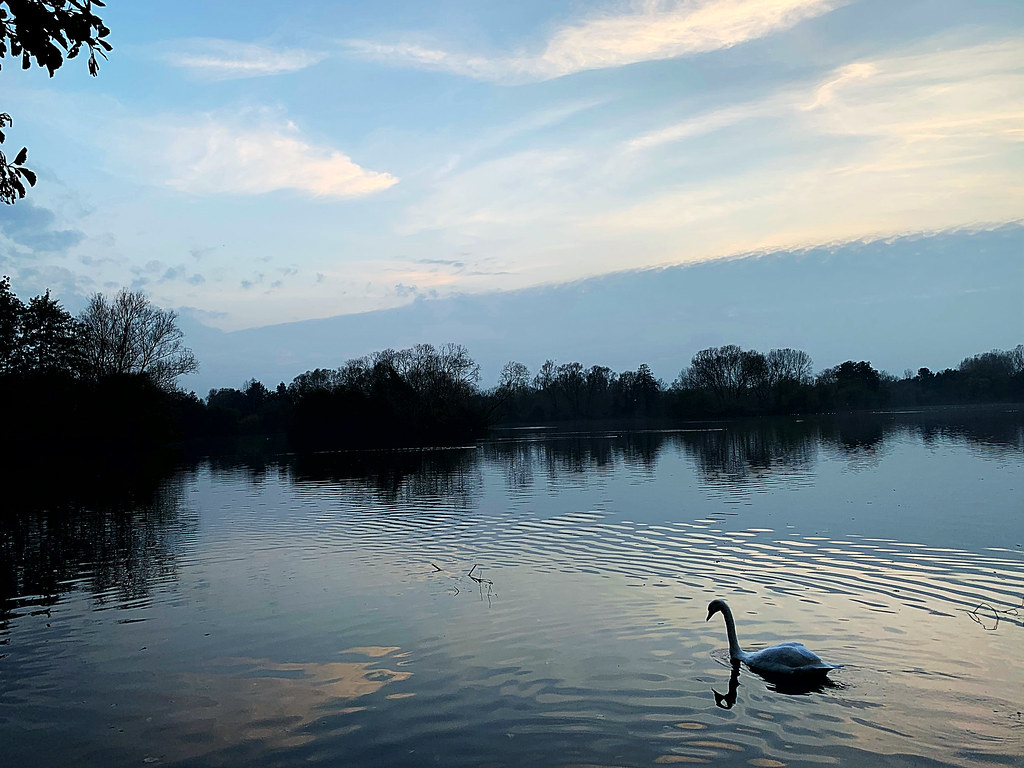 swan on river at dusk