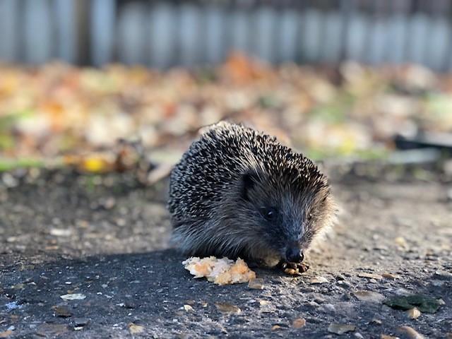 hedgehog snacking