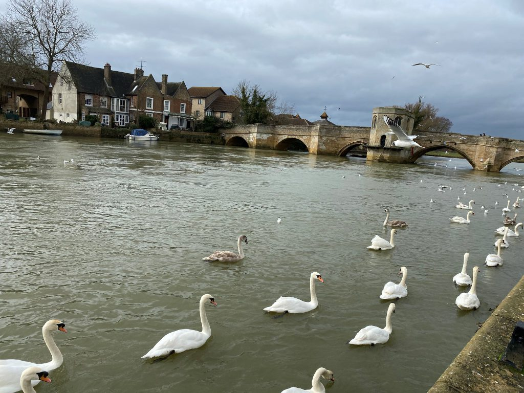swans at St Ives